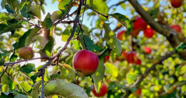 Witlofsalade met appel